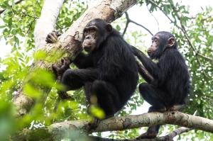 Chimpanzees, Gome Tanzania